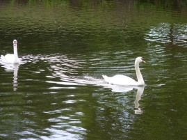 Eunice and Cornelius – Swans in the Unicorn Office Park – Woburn, MA