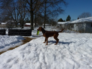 I clear paths for the dog and paths to the various wood piles and I blow the snow away from the house so it won't melt into our basement. This results in Mt. Maddie. Maddie certainly was a fan while still growing because it let her see everything.