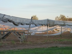 The shade cloth is going up this week. Thousands of square feet of cloth will be stretched over the wires to create near tropical conditions for the tobacco while protecting it from the heat of the direct sun,