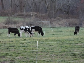 These are the cows from which all of our dairy products, excluding the Mini Moos of course, come from. This is Trinity Farms in Enfield, CT.