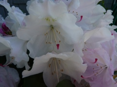We thought one of these Rhododendrons had died