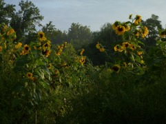 So many sunflowers – in memory of Tina Downey