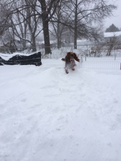 Until the snow get tromped down, Maddie has to jump onto the pile and plow her way up.
