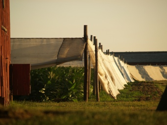 This might just be my favorite picture of all the ones I've taken of the shade tobacco fields in Windsor, CT.