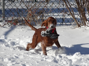 Maddie loves to steal things like gloves and rags and then play keep-away. This was when she was about seven months old, but a year later, she still steals my gloves and she still loves the snow.