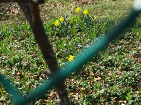 Our neighbor's daffodils, I prefer my name.