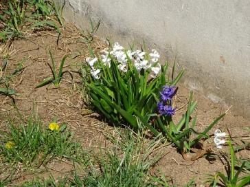 Hyacinths and dandelion
