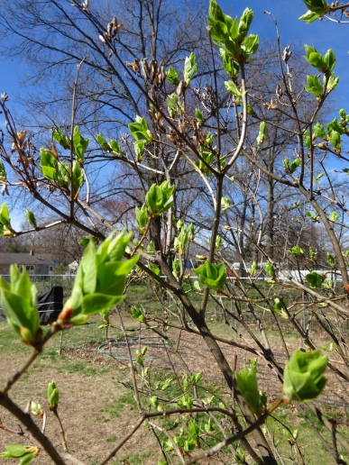 The first lilac to show signs of spring.