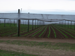Thousands of rows of tobacco plants. Planted in a single day.