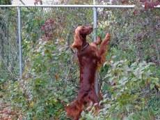Irish Setter at fence