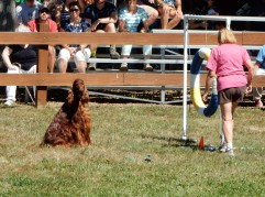 Irish Setter getting ready to start course