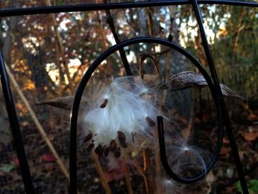 milkweed pods