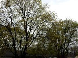 Trees turning green