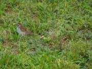Baby Sparrow