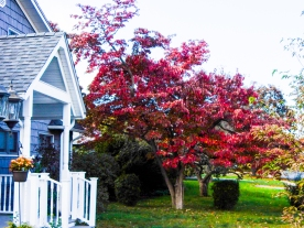 This is our dogwood. It's not a great photo. I had to over-expose the house to bring out the deep red color.