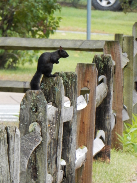 We love the black squirrels.