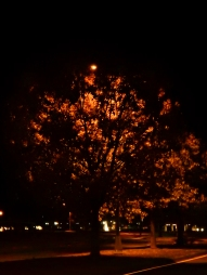 I love driving by this tree when the leaves are backlit by the streetlight.