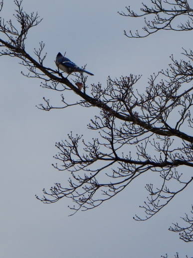 The Blue Jays stick around with us during the winter.