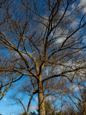 I love the large bare trees. In the summer, there would be no sky visible behind this guy.