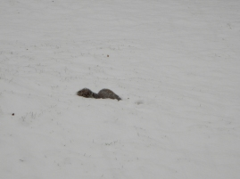 He's trying to find something to eat before the snow gets too deep. I told him we'd toss something out later.