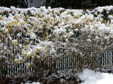"""The blossoms had just popped out last year and, BAM, 6"""" of heavy wet snow over a couple of April days."""
