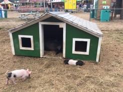 Pigs at the 4-Town Fair