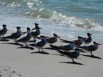 Terns, waiting at the edge