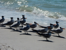 Terns, waiting at the edge