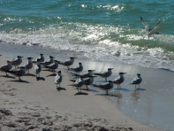 I think these are (some kind of) Tern