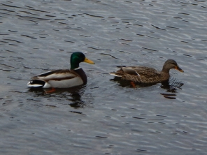 Mr and Mrs Duck