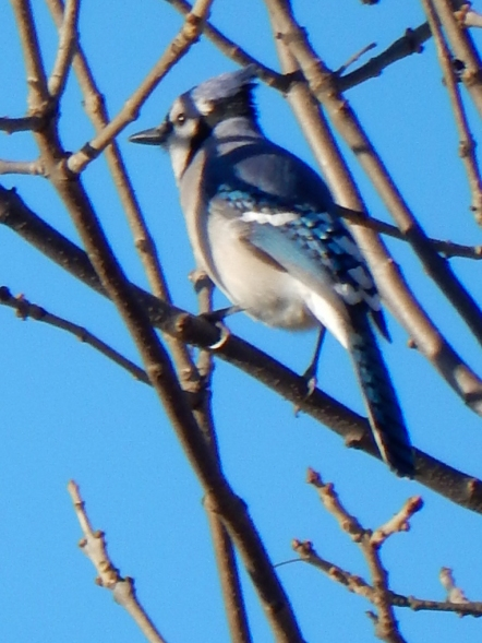Bright spots in the winter - blue jay
