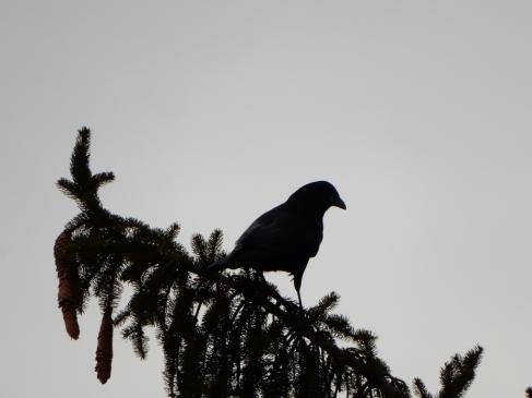 Slow Joe Crow - scoping the neighborhood