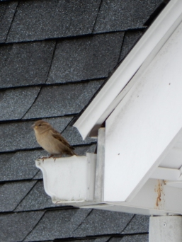 These guys manage to build a nest where two gutters meet. I don't like the idea, but...
