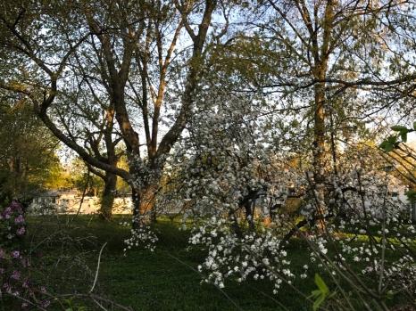 Neighbor's tree caught as the sun is rising