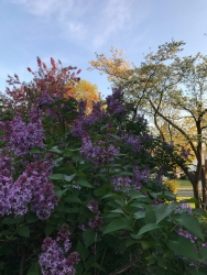 Lilacs, Dogwood and the neighbor's crab apple tree all starting to bloom