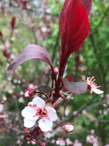 Visible on the perimeter walk. This is a Sand cherry