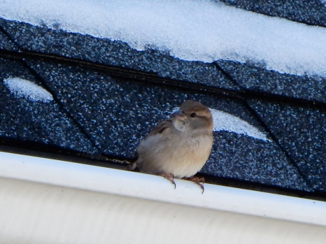 This little guy is waiting for spring, but not patiently. Quite the chirper.