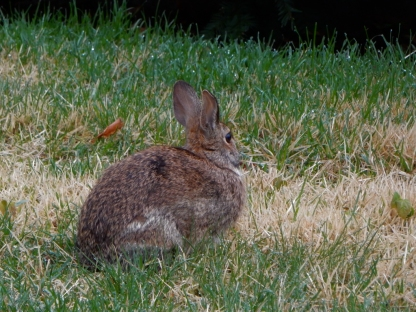 We think this might be the bunny from our yard last year. The mark above his leg might be from an injury we remember.