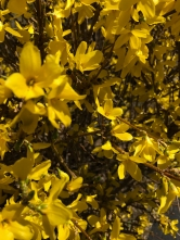 Forsythia is waking up.