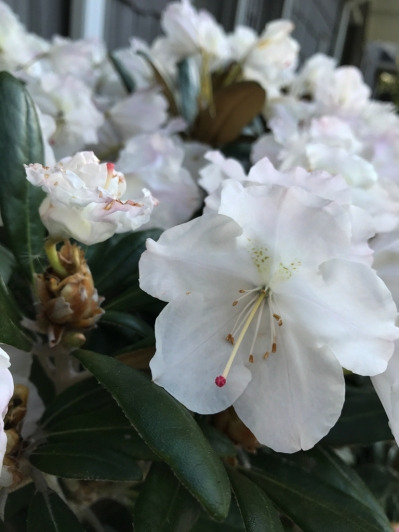 Rhododendrons are blooming.