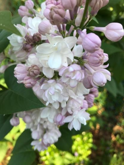 Russian lilacs.