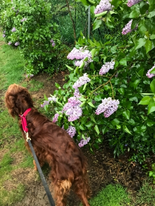 Maddie should focus on maintaining a gab between her and those soaking wet lilacs