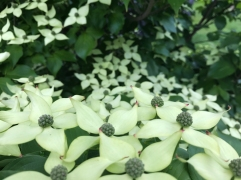 Korean Dogwood - the upper leaves and blossoms are keeping these dry, for the moment.