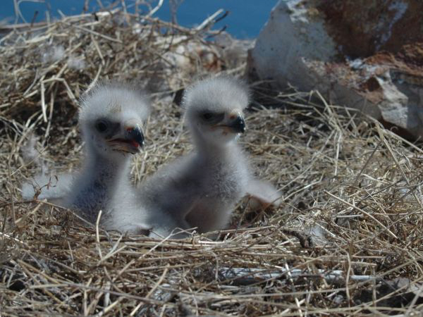 The eagles had two babies this year. Photo from State of CT Department of Energy and Environmental Protection