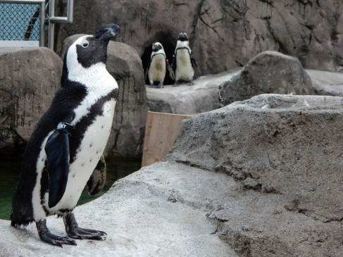 African Penguin - we love these little guys