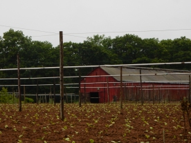 No shade cloth, but tobacco has been planted.