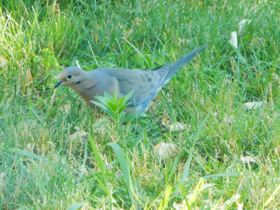 Mourning Doves had been targeted by the hawk we had in the spring. Now we have some babies.