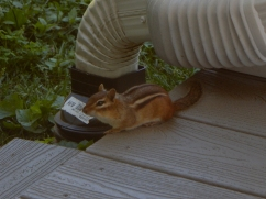This is Chippy. He is one tame chipmunk and he likes our front porch.