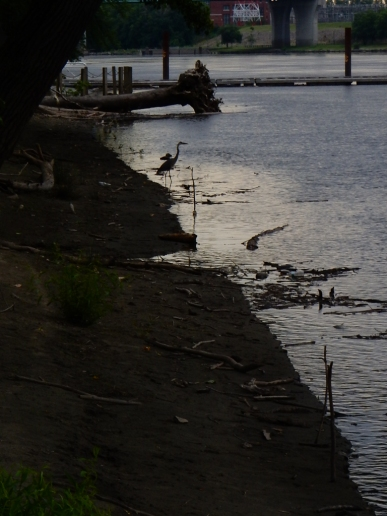 Blue Heron looking for breakfast.