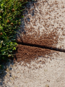 A gazillion ants moving their eggs.